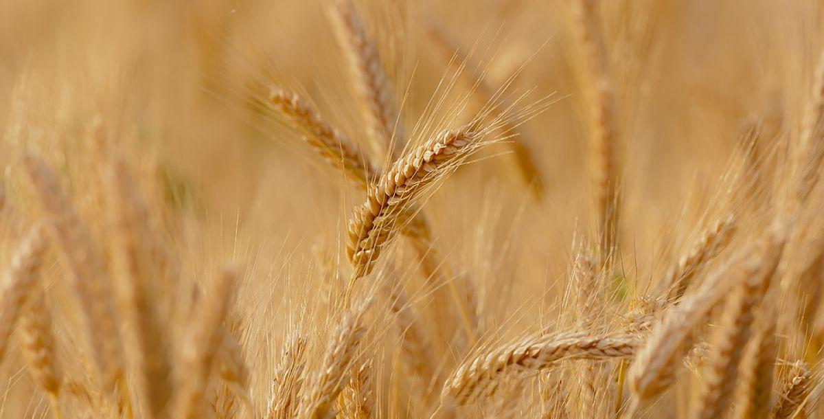wheat-3241114_960_720