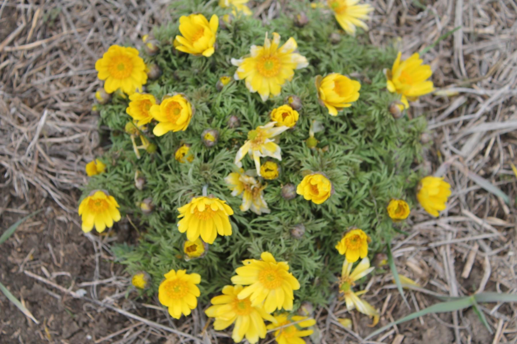 Адонис весенний встречается очень редко, плотность на 1 квадратном метре составляет 1-2 шт